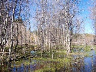 aspen_swamp.jpg