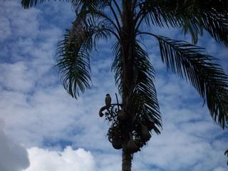Hawk in a Pijuayo Tree
