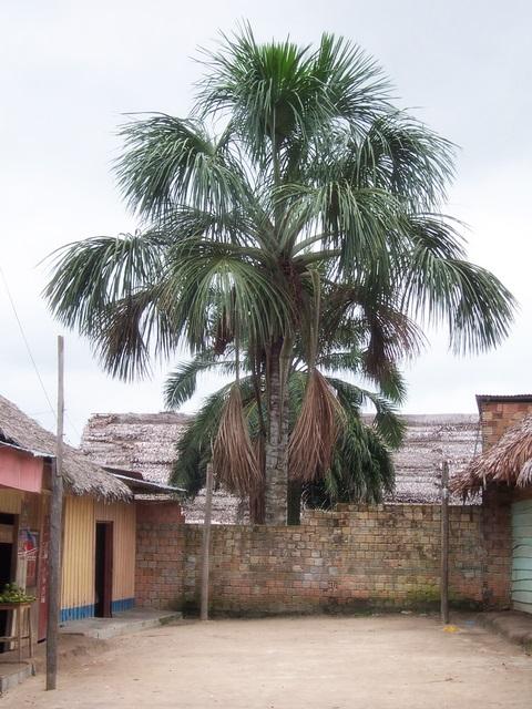 Aguaje Tree