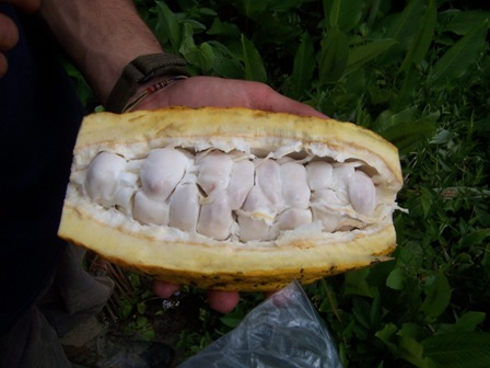 fruit of cacao