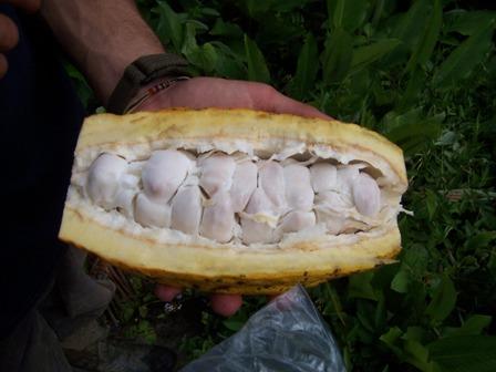 fruit ofcacao