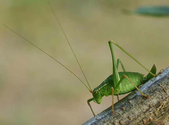 640px-bush-cricket_02_28mk29